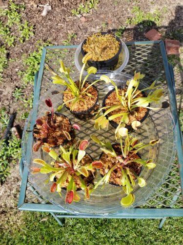 "1x Adult Plants: Short-Toothed Venus Flytrap ""Dente"" Dionaea Muscipula Cultivar photo review"