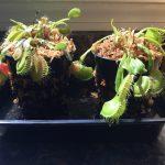 """1x Large Adult Plant: Giant Venus Flytrap """"B52"""" Dionaea Muscipula Cultivar photo review"""